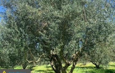 Αγροτεμάχιο 8500 τ.μ., Αβραμιό, Μεσσήνη, € 30.000