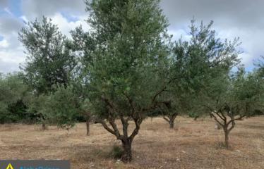 Αγροτεμάχιο 15000 τ.μ., Κλήμα, Τρίκορφο, € 38.000