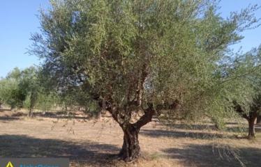 Αγροτεμάχιο 6500 τ.μ., Εύα, Ανδρούσα, € 15.000
